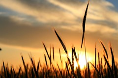 Sweet Evening Skies (Little Miss. Sunshine) Tags: sunset summer sun colors field grass pretty skies pennsylvania amish lancaster amishcountry