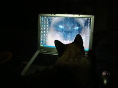 Te conozco mascarita! (Happy happy! Joy joy!) Tags: cat angeles gato rosario gorda siames mah diabetes bizco