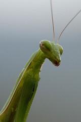 Alien? (cienne45) Tags: friends italy mantis insect liguria cienne45 carlonatale explore genoa natale amantide amantidereligiosa fantasticinsect exploreexset explore1336