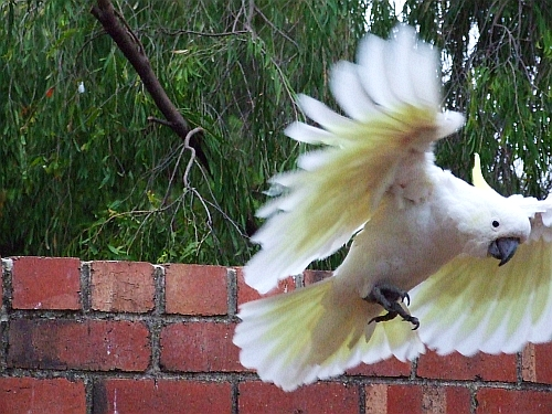 cockatoo in flight kinda