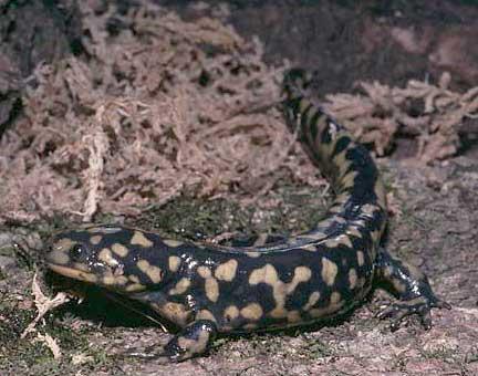 Eastern-Tiger-Salamander.jpg