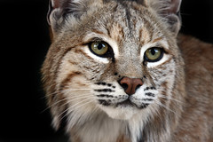 Bobcat (Megan Lorenz) Tags: nature closeup blackbackground feline published looking searchthebest wildlife watching curious bobcat wildcat staring wildanimals blueribbonwinner impressedbeauty naturewatcher qualitypixels fantasticwildlife vosplusbellesphotos