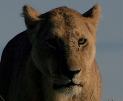 lioness approaching (rcsjackson) Tags: africa cat kenya wildlife lion safari bigcat lions wildanimal lioness wcw masaimara wildanimals potofgold pantheraleo specanimal flickrbigcats wildcatworld