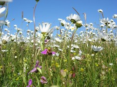 Bee Orchid and Ox-eye Daisies