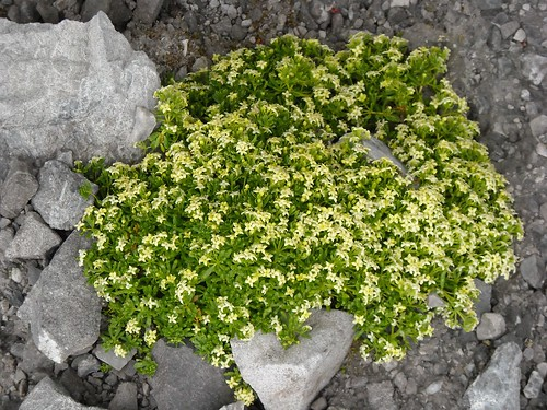 Swiss Bedstraw (Galium megalospermum)