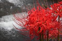 Tiger Lily (kurokojpn) Tags: flowers japan tokyo orlando   saitama lycorisradiata hidaka kuroko redspiderlily kinchakuda canon40d photosjapan kuroko01 kurokoshiroko photographytokyo photostokyo bestoftokyo tokyobest orlandojpn thetokyopost kurokojpn