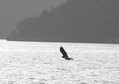 Matsushima (Hokkaido Brit) Tags: seagulls kite matsushima tohoku