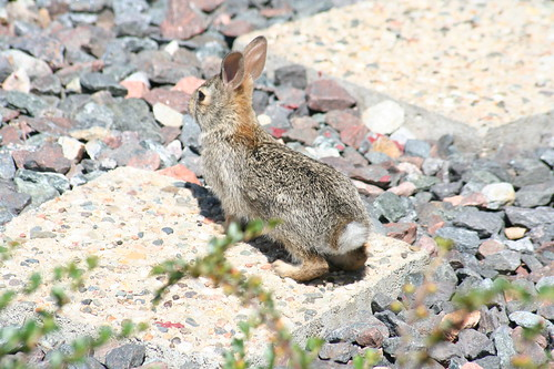 eastern cottontail (2)