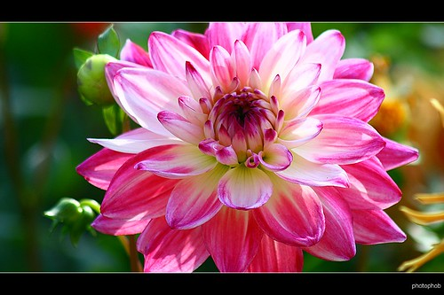 pink dahlia by photophob.