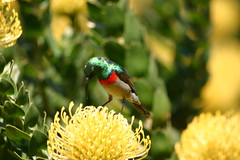 A male Southern Double-collared Sunbird (Cinnyris chalybeus, also known as the Lesser Double-collared Sunbird) in Cape Town, South Africa. (Derek Keats) Tags: southafrica capetown kirstenbosch southerndoublecollaredsunbird cinnyrischalybeus lesserdoublecollaredsunbird