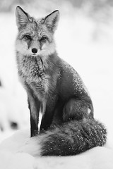 Rodriques (Wolfhorn) Tags: red portrait white black nature alaska wildlife fox and wilderness the vulpesvulpes blackwhitephotos rodriques