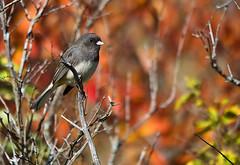 Dark-eyed Junco (MAM Photography) Tags: bird nature birds composition wildlife junco sparrow duluth lakesuperior hawkridge