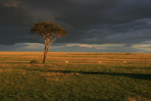 Thunderstorm at Mara Plains - Three boys (Honey`s sons)