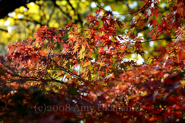 Japanese maple backlit horizontal