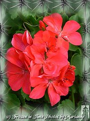 FBI: P2030403 GERANUIUMS IN A LIGHT AND DARK GREEN FRAME (Frozen in Time photos by Marianne AWAY OFF/ON) Tags: flowers red flower nature geraniums fbi redflowers aclass framedphotos flowerphotography grandmasflowers nationalgeographicwannabes floweraddicts crystalaward flowerpicturesnolimits favoritesbyinterestingness flowersarebeautiful yourpreferredpicture flowersallkinds ilovemypics flowersarefabulous thegoldenflower stunningplanetearth natureunlimitedpublicgroupforever photowatermarkframes flickrflorescloseupmacros thenoblespirit redflowerspool nationalgeographiswannabes