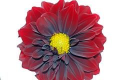 dark flower (xeno(x)) Tags: flower color macro art nature garden asia 2008 onwhite xeno cubism abigfave
