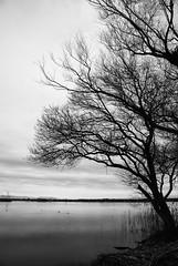 Tree of Calm Lakeside (HarQ Photography) Tags: blackandwhite bw japan biwako monart blackwhitephotos platinumphoto japanesephotomobsters