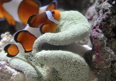 sea fish tank nemo clown small anenome saltwater