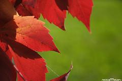 (NicolaMolon) Tags: autumn red green contrast nikon autunno d300 contrasto dragondaggerphoto