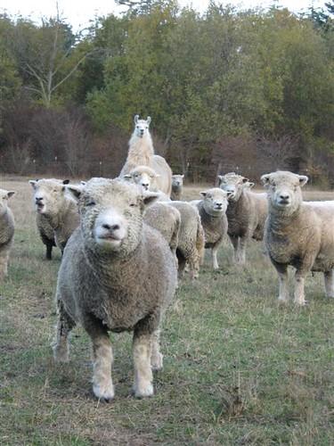Southdown Flock+Romney