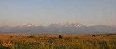 Bison in the Grand (Robinsegg) Tags: landscape wyoming teton migration bison grandteton nationalelkrefuge naturescreations