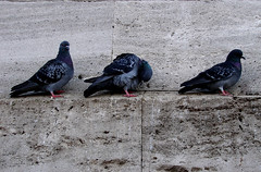 Three in a line (Anastassiya Bergem) Tags: 3 turkey three pigeons istanbul     october2008 2008
