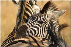Hugz (*Kicki*) Tags: africa travel wild love nature animal southafrica hug minolta bokeh stripes wildlife natur august fave adventure safari cc 25 creativecommons dynax7d 7d zebra afrika hugs konica dynax 2008 imfolozi tier sebra djur konicaminolta randig hugz hluhluwe kram fl kicki shongololo shongololoexpress krlek sydafrika vild hluhluweimfolozi konicaminoltadynax7d hluhluweimfolozipark platinumheartaward svenskaamatrfotografer greattrainadventures httpwwwshongololocom kh67 peregrino27life