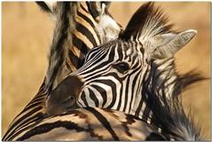 Hugz (*Kicki*) Tags: africa travel wild love nature animal southafrica hug minolta bokeh stripes wildlife natur august fave adventure safari explore cc 25 creativecommons dynax7d 7d zebra afrika hugs konica dynax 2008 imfolozi tier sebra djur konicaminolta randig hugz hluhluwe kram fl kicki shongololo shongololoexpress krlek flickrexplore sydafrika explored vild hluhluweimfolozi konicaminoltadynax7d hluhluweimfolozipark platinumheartaward svenskaamatrfotografer greattrainadventures httpwwwshongololocom kh67 peregrino27life