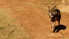 Lobo ibérico en Terra Natura
