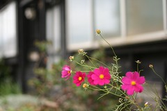 snap of Hakodate 9 (mamako7070) Tags: pink flowers plants flower hokkaido  hakodate  cosmos eoskissdigitaln