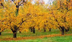 Golden Apples (ruralgold) Tags: autumn trees color fall apple gold orchard aplusphoto theperfectphotographer discoveryphotos qualitypixels