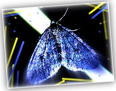 blue night-butterfly (eagle1effi) Tags: blue art night butterfly favoriten flickr bestof artistic photos expression kunst selection fotos nocturna edition mariposa picnik erwin auswahl farfalla schmetterling beste ppc damncool postprocessing cartepostale nachtfalter selektion digitalretouch kartpostal effinger artexpression lieblingsbilder bluelicious natureinblue eagle1effi byeagle1effi goldstaraward ae1fave yourbestoftoday artandexpression effiart butterflynight fxeffects effiartkunstcopyrightartisteagle1effi effiartgermany effiarteagle1effi tagesbeste