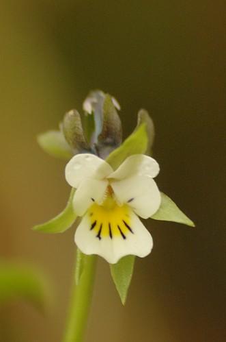Viola arvensis - Akkerviooltje, Field pansy