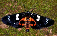 Moth _ Episteme adulatrix (haneesh) Tags: indian moth moths indianmoths mothsofindia