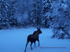Merry Moose From North Pole Alaska (Rebeak) Tags: inspire blueribbonwinner mywinners stunningphotos flickraward ausdernaturoutofnature