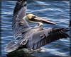 Pelican Landing (tinyfroglet) Tags: ocean brown bird island catalina pelican avalon flickrnature anawesomeshot ultimateshot flickrenvy theperfectphotographer natureselegantshots