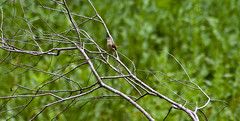 Brazos Bend 25th Anniversary - Carolina Wren