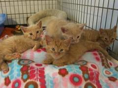 Solo, Moon, Felix, and Miro (Goathouse Refuge) Tags: orange moon male felix kittens solo miro