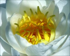 Light and shadow... (Mary Trebilco) Tags: flowers light shadow white macro yellow canon interestingness waterlily lily loveit explore tasmania lightandshadow longford woolmersestate flowerotica canonpowershots3is theunforgettablepictures