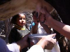 Huaynacotas  vache enfants