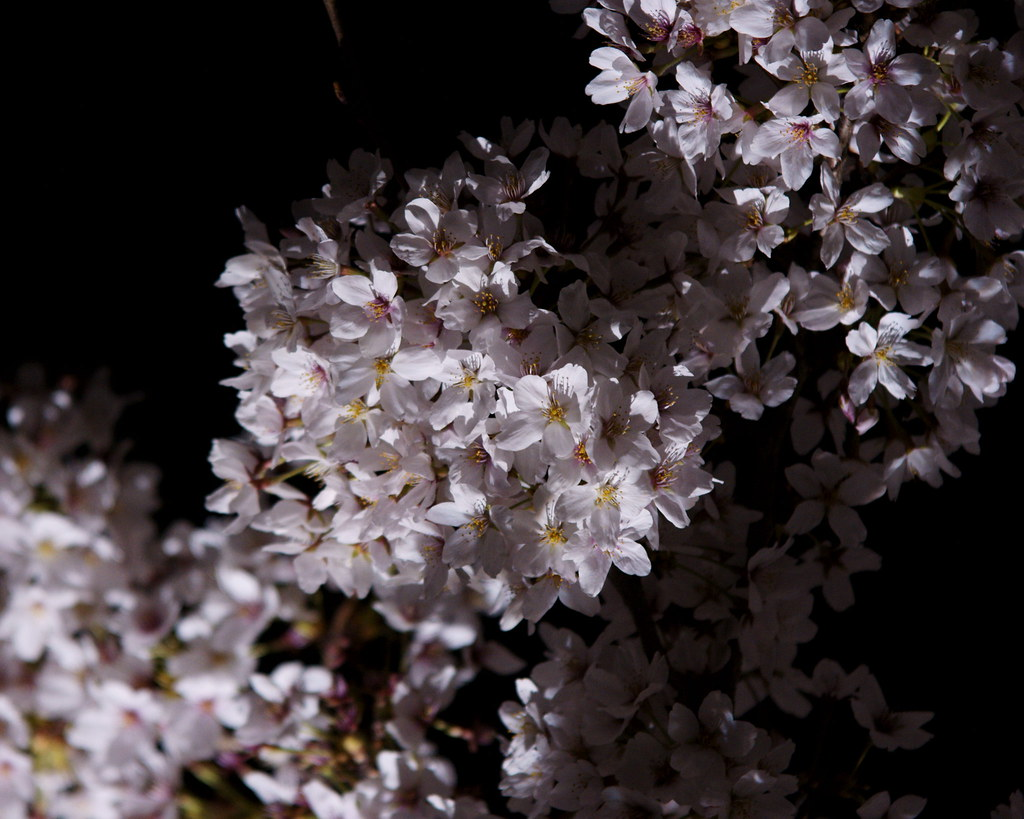 sakura light-up 11