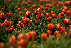 Tulip Farm Visit