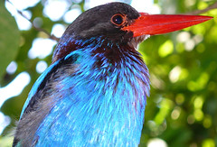awesome bird! (tropicaLiving - Jessy Eykendorp) Tags: blue red