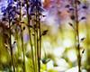early in summer (futureancient) Tags: light sunshine birds bluebells 50mm bright bokeh bees warmth rangefinder canonf095 sunshineafterrain leicam8 freshsmell futureancient