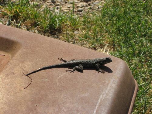 closer look at the lizard