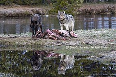 Two Wolves Reflection, Yellowstone Park (Daryl L. Hunter - The Hole Picture) Tags: two reflection kill searchthebest feeding wolves yellowstonepark gibbonrive ryellowstonenationalpark photocontesttnc08