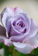 Rose in Violet (yoshiko314) Tags: flower macro nature rose closeup waterdrop purple violet drop micro droplet elegant raindrop afterrain d60 flowerscolors 55mmf28aismicro mywinners