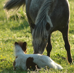IniMiniPony (Saparevo) Tags: horses cheval cavalo pictureperfect paarden foals pferden babyhorses impressedbeauty empyreananimals fillis adoublefave
