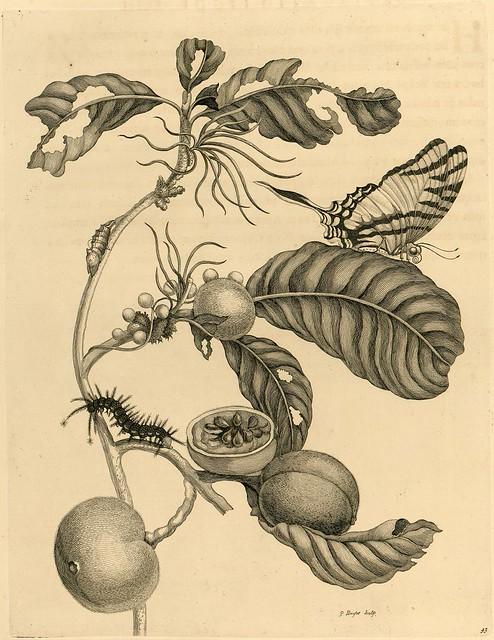 Metamorphosibus Insectorum Surinamensium (p95)