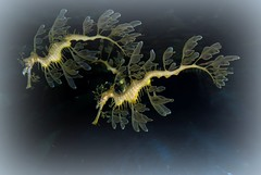 Leafy Sea Dragons' Dance (Alicia-Lee-07) Tags: sea fish animal aquarium dallas downtown texas dragon australia leafy camouflaged top20fish top20fish20
